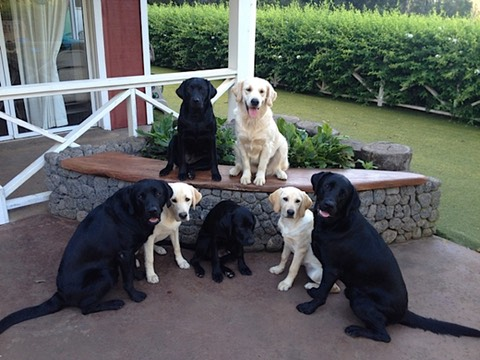 Puppies in training at Sadie's Place in Makawao Maui with Assistance Dogs of Hawaii